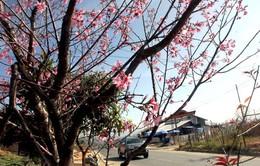 Mai anh đào - Sức hút khó cưỡng của thành phố Đà Lạt