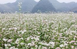 Lễ hội hoa Tam giác mạch Hà Giang 2016 sẽ diễn ra từ ngày 14/10 tới