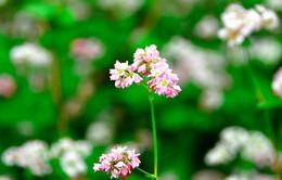 Ngắm hoa tam giác mạch Hà Giang trước ngày khai hội