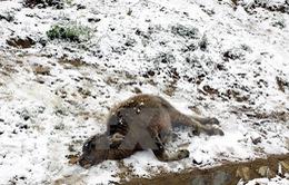 Hơn 7.800 con gia súc bị chết rét