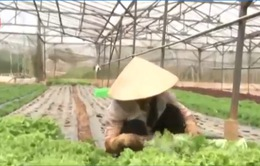 Đà Lạt sản xuất rau công nghệ cao gặp khó