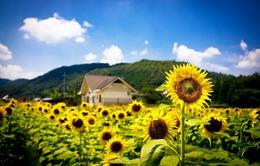 Nghệ An mở cửa cánh đồng hoa hướng dương