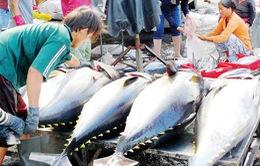 Đầu vụ cá ngừ, ngư dân Khánh Hòa lại bị ép giá