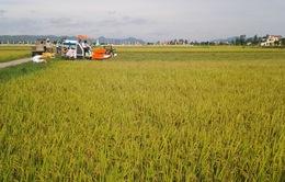 Gia tăng diện tích sản xuất theo cánh đồng lớn