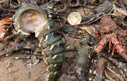 Tôm hùm chết ở Phú Yên: Sớm khôi phục vùng nuôi sau lũ
