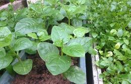 Cận cảnh mô hình chuỗi sản xuất, cung cấp rau sạch tại Vĩnh Phúc