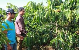Người dân Quảng Trị chủ động tái canh cây cà phê