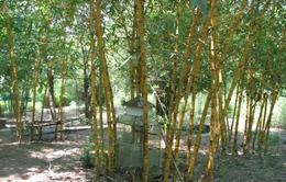 Thăm vườn bảo tồn 100 loài tre, trúc duy nhất ở miền Trung