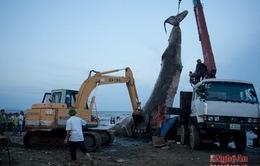 VIDEO: Rưng rưng lễ trục vớt và chôn cất cá voi ở bờ biển Nghệ An