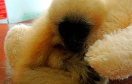 Chú vượn hơn 1 tháng tuổi tuyệt đẹp bị lạc bầy