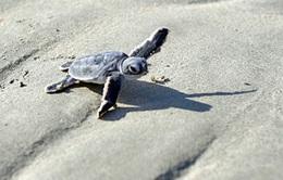 """Rùa xanh - Những """"phượt thủ"""" nhỏ bé giữa lòng đại dương"""