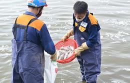 Nguyên nhân cá chết trắng Hồ Tây: do nắng mưa thất thường