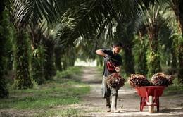Indonesia cấm cơ sở sản xuất dầu cọ mới