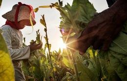 Lao động trẻ em trên cánh đồng thuốc lá và những ảnh hưởng về sức khỏe