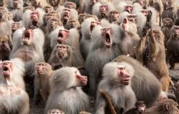 Những kỷ lục thú vị về loài khỉ (Phần 1)