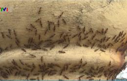 Kiến ba khoang xuất hiện dày đặc sau lũ tại Hà Tĩnh