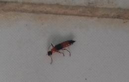 Chuẩn bị sẵn 3 loại thuốc đối phó kiến ba khoang cắn