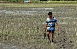 Kiên Giang: 30.000 ha lúa bị thiệt hại do nhiễm mặn