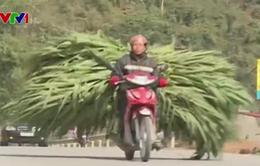 Người dân chở cỏ từ Lào Cai lên Sa Pa cứu đói cho gia súc