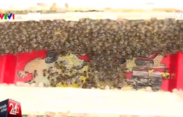 Cơ quan chuyên môn lên tiếng về lệnh cấm nuôi ong ở Hà Giang