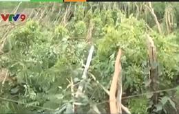Bình Phước: Lốc xoáy gây thiệt hại hàng tỉ đồng