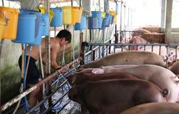 Bình Dương: Xử phạt chủ cơ sở bơm thuốc an thần vào lợn