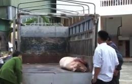 Hà Tĩnh: Phát hiện ô tô chở lợn chết về làm thịt bán