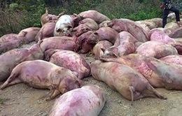 """Xác lợn chết la liệt """"đầu độc"""" suối Cao Bằng"""