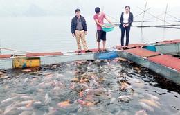 Phát triển nghề nuôi cá lồng tạo sinh kế cho người nông dân (17h20, 11/11, VTV1)