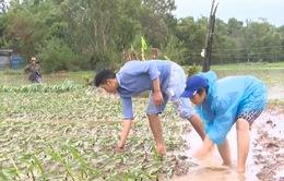 Lũ chồng lũ, người trồng hoa Tết Phú Yên trắng tay