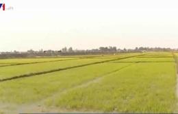 Quảng Trị phục hồi nhiều diện tích lúa bị thiệt hại do rét