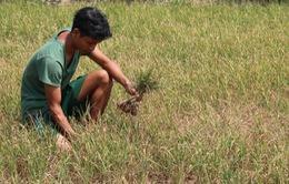 Giá lúa tại Đồng bằng sông Cửu Long giảm mạnh