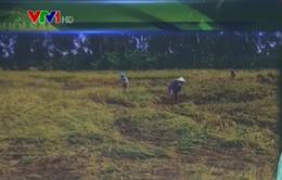 Kiên Giang: Hơn 5.000ha lúa thiệt hại do mưa bão phải gieo sạ lại