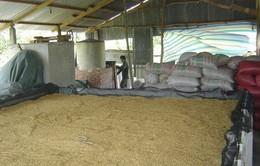 Thiếu trầm trọng máy sấy lúa tại ĐBSCL