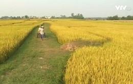 Triển khai đề án Tái cơ cấu ngành lúa gạo