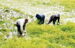 Sẽ triển khai bảo hiểm nông nghiệp theo nguyên tắc tự nguyện