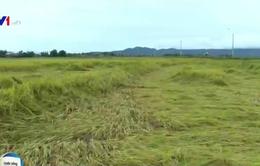Lúa thu hoạch gặp mưa lớn, nông dân thiệt hại nặng