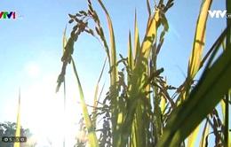 Những nghịch lý của thị trường lúa gạo