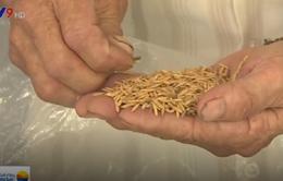 Tràn lan lúa giống kém chất lượng tại ĐBSCL