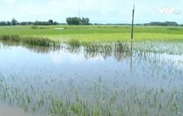 Phú Yên: 6.000 ha lúa Hè Thu bị ảnh hưởng do bão số 4
