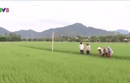 Đà Nẵng trồng thử nghiệm lúa sạch