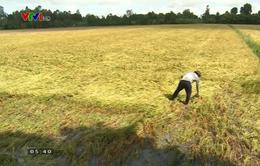 Nhiều thương lái từ chối mua lúa tại ĐBSCL