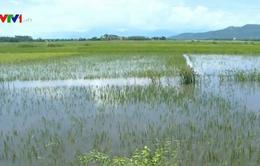 Mưa lớn, hàng nghìn ha lúa ở Phú Yên bị đổ ngã