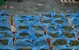"""Bắt hơn 300kg lá """"Khat"""" chứa chất ma túy cực mạnh"""