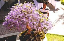 Độc đáo cây mai có hoa màu... tím