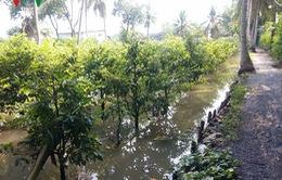 50.000 gốc mai ở TP.HCM chìm trong biển nước