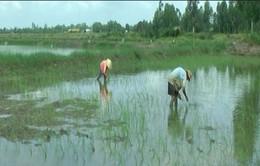 Mặn xâm nhập sâu, nông dân thiệt hại nặng nề