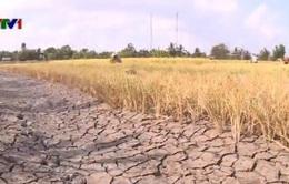 Hạn mặn ở đồng bằng sông Cửu Long: Chuyển thù thành bạn