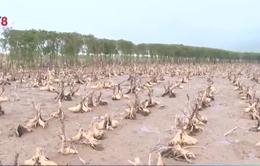 Nhiều rừng ngập mặn tại Hà Tĩnh đang chết dần
