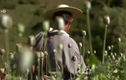 Myanmar trở thành nơi sản xuất ma túy lớn thứ hai trên thế giới